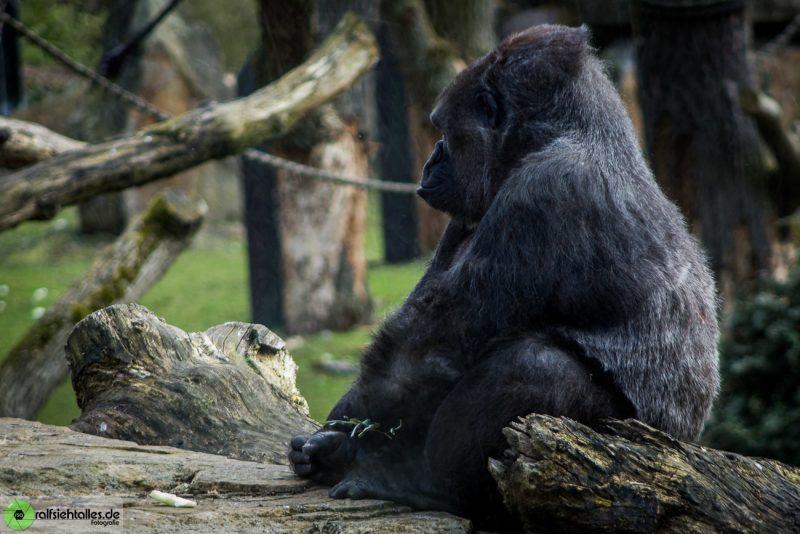 sitzender Gorilla