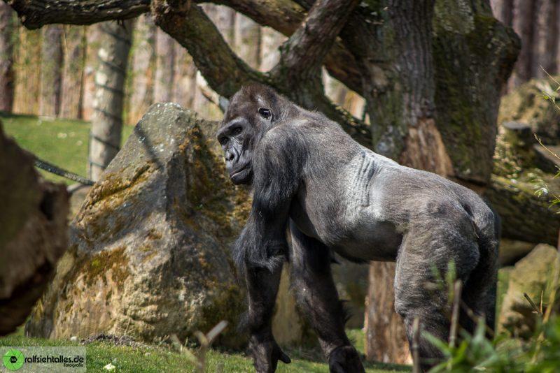 Gorilla im Zoo