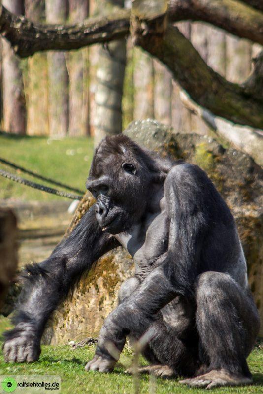 Gorilla im Allwetterzoo Münster
