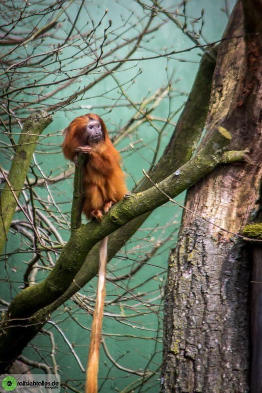 kleiner Affe im Geäst
