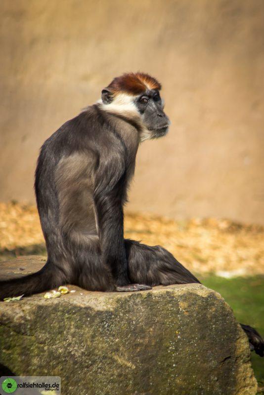 Affe sitzt auf Stein