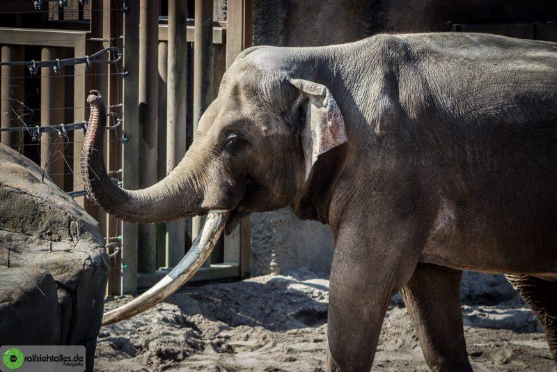 Elefant hebt Rüssel