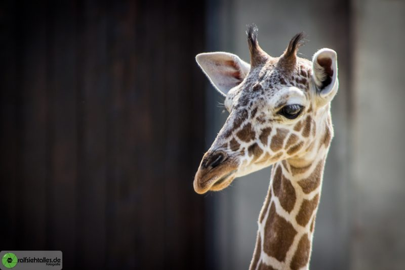 Giraffe im Allwetterzoo Münster