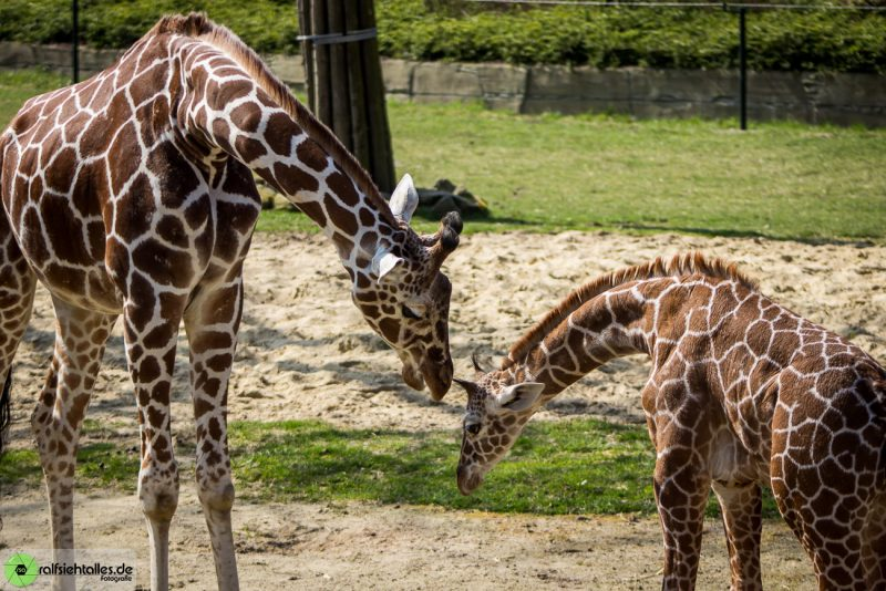 Giraffen-Mutter mit Kind