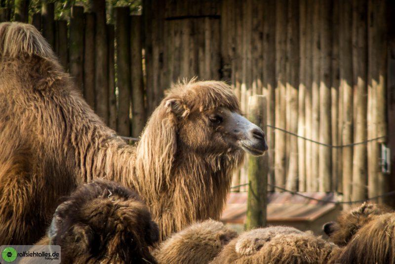 Kamel im münsterander Zoo