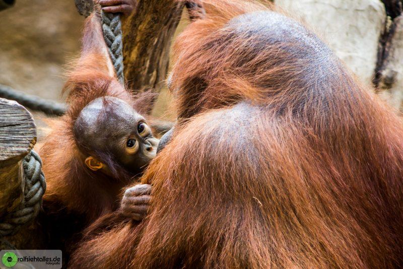 Orang Utan-Baby mit seiner Mutter