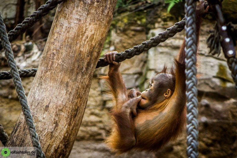 Orang Utan-Baby klettert