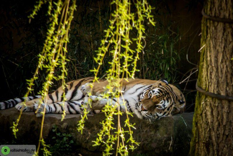entspannt liegt der Tiger auf einem Stein