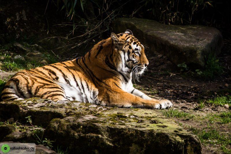 Tiger im Allwetterzoo Münster