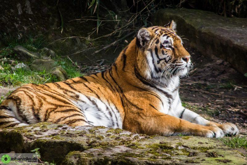 Tiger im Allwetterzoo