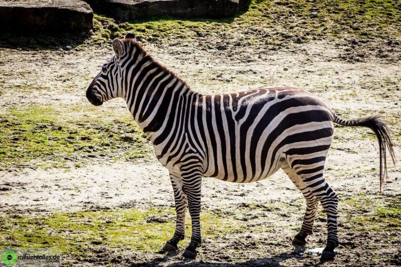 Zebra im Zoo in Münster