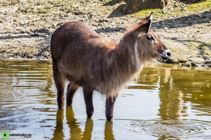 Am Wasserloch des Zoos