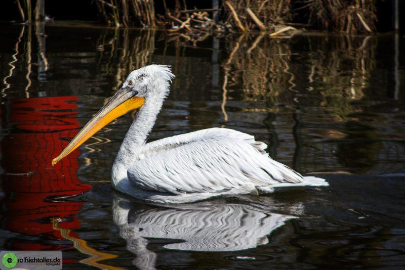 Wasservogel im Zoo in Münster