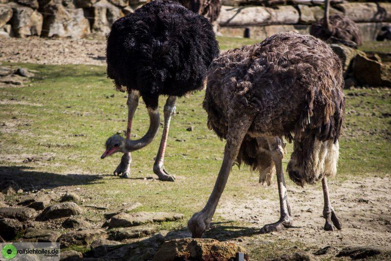 Straußen im Zoo